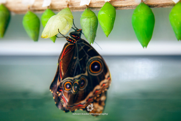 Butterfly Emerges from Pupae