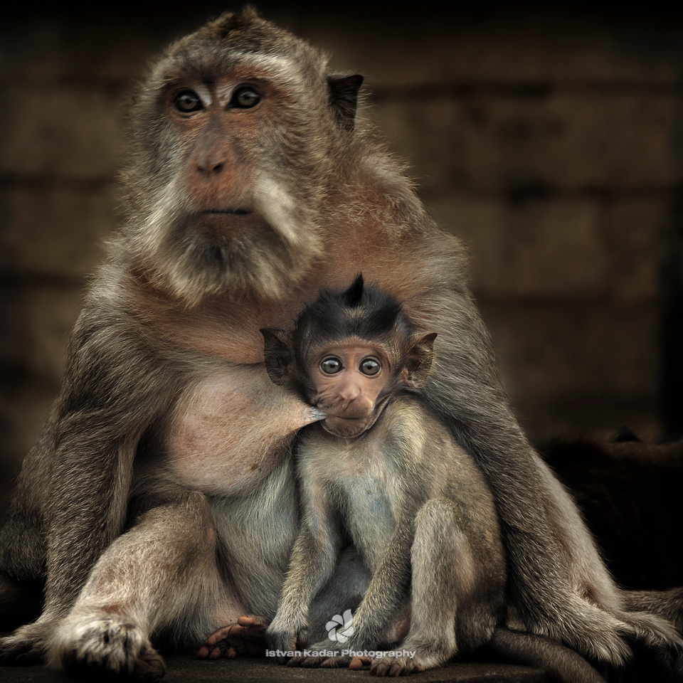 "animals, ape, baby, cute, furry, milk, monkeys, mother, motherhood, punk, suckling, ""long-tailed macaques"""