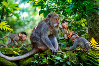 Mom with Babies, Long Tailed Macaques, Monkey Forest, Bali