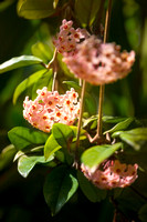 The Wax Plant (Hoya Carnosa)