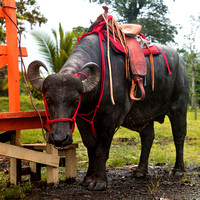 Saddle on a Water Buffalo