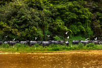 Water Buffaloes with Cattle Egrets