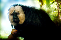 White-faced Saki Monkey Portrait (Male)
