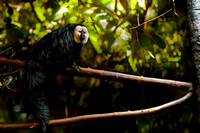 White-faced Saki Monkey (Pithecia epithelia)