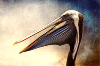 The Face of the Pelican