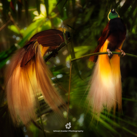 • Greater Bird of Paradise